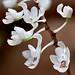 119 Microcoelia aphylla