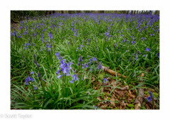 Bluebells in the Chilterns (Scrufftie) Tags: uk flowers bluebells canon woodland countryside chilterns buckinghamshire tiltshift amersham gitzotripod ortoneffect canontse24mmf35lii canon5dsr