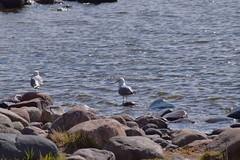 Common gulls sitting on rocks (JonasSuni) Tags: sea bird nature water animal fauna suomi finland spring outdoor wildlife vr kevt