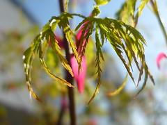 Blattentfaltung (Jörg Paul Kaspari) Tags: leaves garden leaf spring acer blatt blätter garten frühling palmatum austrieb blattaustrieb wincheringen moderngarden drachenschwanzahorn ´seiryu´ acerpalmatum´seiryu´