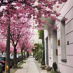 Streets of Berlin in Spring (Lisa Guhl) Tags: trees streets berlin spring lisa cherryblossom citycenter allee guhl lisaguhl