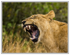 Canines ! (Crested Aperture Photography) Tags: lion canine greatlakes uganda simba predator lioness animalplanet ug eastafrica queenelizabethnationalpark greatnature centralafrica crestedaperture