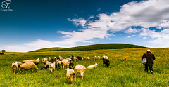 Anatolian Story (BeNowMeHere) Tags: trip travel flowers trees sky color nature animals clouds turkey landscape spring colorful sheep shepherd goat story panaroma panaromic anatolia anatolian 500px ifttt benowmehere anatolianstory