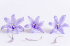119/366: Loose ends (judi may) Tags: flowers white macro closeup bluebells whitebackground highkey canon7d day119366 366the2016edition 3662016 28apr16