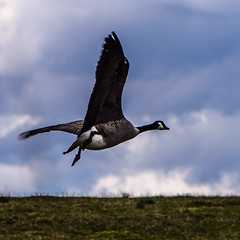 Canada Goose Approaching for Landing (Brian Travelling) Tags: uk wild sky cloud canada green nature field grass clouds scotland wings britain wildlife goose landing canadiangoose canadagoose feathered wildfowl squareframe westofscotland clydemuirshielregionalpark squareframed