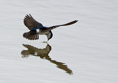 Tree Swallow drinks from the pond (ctberney) Tags: bird nature water flying pond drinking treeswallow tachycinetabicolor
