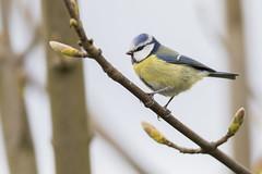 Blue Tit (Paul..A) Tags: blue tit titmouse bluetit