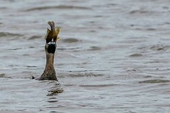 THAT'S ONE BIG FISH (Lisa Plymell) Tags: lake fish bird nature water us unitedstates kansas olathe piedbilledgrebe sigma150500 nikond5300