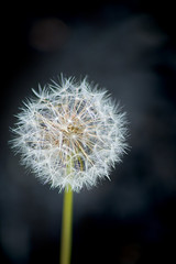 make a wish #2 (avflinsch) Tags: flower macro weed dandelion wish 500px ifttt