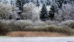 the spring, the snow and the swan (waellerwildlife) Tags: schnee snow nature germany landscape landscapes spring flora fotografie natur april frühling avifauna steinen muteswan cygnusolor naturschutzgebiet westerwald hartenfels knobbelzwaan biotope wied selters vogelschutzgebiet naturfotografie hachenburg höckerschwan cisnebranco rhinelandpalatinate knopsvane knölsvan łabędźniemy cignoreale steinebach kyhmyjoutsen cygnetuberculé burens dreifelden westerwälderseenplatte cisnevulgar cigndumesti schenkelberg haidenweiher vogelschutzgebiete wolfgangburens wällerwildlife waellerwildlife obererwesterwald steinebachanderwied landschaftsfotgrafie