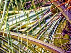 Coconut leaves wishy washy (dksesh) Tags: tree coconut bangalore palm panasonic g6 karnataka hinduism seshadri sesh bengaluru harita dhanakoti haritasya seshfamily dmcg6 panasonicg6 panasonicdmcg6 lakshmipura manmathasamvatsara
