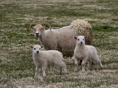 Icelandic Sheep (boncey) Tags: iceland lenstagged olympus ep3 40150mm olympusep3 olympuspenep3 camera:model=olympuspenep3 lens:make=olympus olympus40150f4056 lens:model=olympus40150f4056 photodb:id=23494