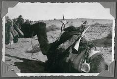 Archiv F310 gesatteltes Dromedar mit Gewehr und Wasserflasche (Hans-Michael Tappen) Tags: sahara algeria frankreich desert aviation rifle dromedary camel maghreb afrika algerie landschaft camels legion kamel wste armee dsert luftwaffe colonie dromadaire chameau dromedar fusil frencharmy aronautique kamele frenchforeignlegion chameaux colonialisme gewehr nordafrika kolonie kolonien armedelair foreignlegion fremdenlegion lgion carabine algerien legionr lgionnaire kolonialzeit kolonialgeschichte lgiontrangre kpiblanc franzsischearmee archivhansmichaeltappen flugaufklrung