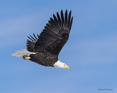 Bald Eagle (djodcolo) Tags: colorado eagle bald loveland bif birdinflight niknon d5300 300mmf4epfvrif