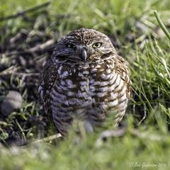 Burrowing Owl (Bob Gunderson) Tags: california birds northerncalifornia southbay athenecunicularia burrowingowl santaclaracounty coyotevalley