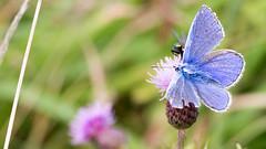 Common Blue Butterfly (Peter Bullard) Tags: butterfly lepidoptera animalia arthropoda insecta lycaenidae bluebutterfly polyommatus polyommatini