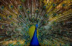 DSC_5163 (mizrahi_julio) Tags: birds pajaros juliocesar