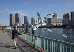 Faithful Followers(in downtown Tokyo) (seiji2012) Tags: sea bird river walking tokyo waterfront seagull 東京 築地 sumidariver 隅田川 カモメ 鴎 隅田川テラス ウオーターフロント