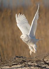 Up, up and away! (Khurram Khan...) Tags: winter ilovenature wildlife arctic migration snowyowl winterbirds wildlifephotography ilovewildlife iamnikon khurramkhan