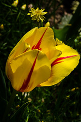 (laurieirene) Tags: flower macro yellow tulip