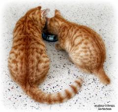She Eats- He Eats (Chris C. Crowley) Tags: cats kittens felines spotted manx orangecats mykittens orangekittens sheeatsheeats ragnarandfreja