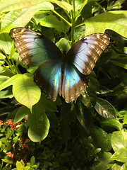 butterfly (mikefranklin) Tags: newyorkcity usa newyork apple september photostream iphone 2015 a:a=countries a:a=years iphone6