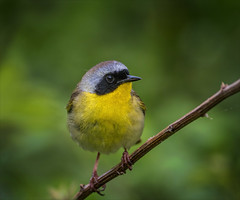 Return to Me (kathybaca) Tags: world ny cute bird nature birds animal fly us spring pretty sweet earth small adorable maryland ave tiny singer warbler territorial yellowthroat migrate insecteater