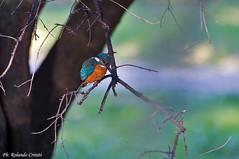 Martin pescatore _023 (Rolando CRINITI) Tags: bird natura uccelli uccello arenzano ornitologia martinpescatore