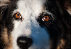 Eye Contact (Robots are Stupid) Tags: uk greatbritain portrait england dog pet cute face animal closeup fur mammal nose eyes furry nikon collie unitedkingdom britain sheepdog canine 100mm snoopy harvey stare doggy dogface mansbestfriend bordercollie fullframe fx pooch staring bestfriend gaze snout colliedog farmdog workingdog doghead dogportrait dogeyes tokina100mm d700 tokina100mmf28atxprod coldwetnose nikond700 collieportrait collieeyes daviddalley davidjdalley horribleharvey