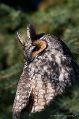 long eared owl (bakosmike) Tags: nikon long explore whitby owl eared d300 200500mm