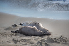 Mother and Child, Valentine's Day (nosha) Tags: ocean california ca blue sea usa seascape elephant love water beautiful beauty coast seal shore valentinesday elephantseal