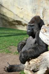 Gorille de Côte (olivier.ghettem) Tags: valencia ape espagne valence singe silverback gorille grandsinge dosargenté bioparcvalencia gorilledecôte