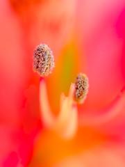 (Nikola Ostrun) Tags: pink red hot flower color macro colors yellow closeup warm bokeh