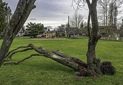 Winter casualty (Tony Tomlin) Tags: park trees crescentbeach winddamage crescentbeachbc