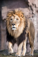 Lion Walking Towards the Camera (Eric Kilby) Tags: park male boston cat zoo franklin lion bigcat