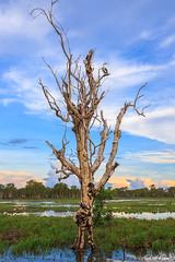 Kakadu National Park (robert_vine) Tags: flowers trees art water birds rock lily au australia kakadu aboriginal pads northernterritory