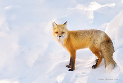 Winter Fox (Happy Photographer) Tags: winter snow wildlife fox feburary grandtetonnationalpark gtnp amyhudechek
