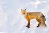 Winter Fox (Happy Photographer) Tags: winter snow wildlife fox feburary grandtetonnationalpark gtnp amyhudechek