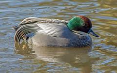 JWL_9896 Falcated Teal.... (jefflack Wildlife&Nature) Tags: nature birds teal wildlife ducks wetlands avian waterbirds wildfowl wildbirds falcatedduck falcatedteal