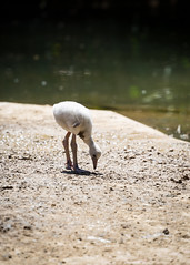 Baby Flamingo (Sunset~Beauty) Tags: barcelona baby bird animal canon eos zoo is spain flamingo usm 70300mm ef 6d f456l