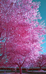 testing IR (JoeBenjamin) Tags: pink blue trees bw test color tree nature colors leaves lens ir aqua experimental conversion spectrum zoom near sony magenta experiment full hidden filter swap infrared pancake alpha channel false schneider pz oss 099 a3000 f3556 fullspectrum apsc 1650mm selp1650 ilce3000 imagelaboratory rensol