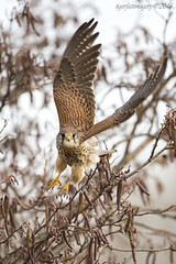 Kestrel (Ross Forsyth - tigerfastimagery) Tags: wild nature scotland wings wildlife flight free kestrel birdofprey lothian musselburgh