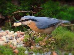 """ Take as much as possible "" #50mm# (Kalbonsai) Tags: color macro bird closeup germany 50mm nikon natur natu boomklever birdshot kleiber d5100 naturphotography dreilnderwald"