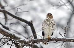 Falcon (Alan Amati) Tags: winter chicago nature topf25 illinois topf50 hawk wildlife il raptor falcon perch topf100 topf200 peregrine perching amati alanamati