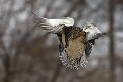 Nikon D2Xs (Bert de Tilly nikon shooter) Tags: wild bird nature birds animal female duck wings nikon ducks mallard nikonshooter duckinflight bertdetilly