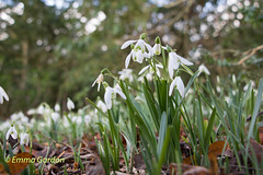 IMG_0892 (Emma Gordon10) Tags: flowers plants flower nature abbey gardens garden outdoor snowdrops anglesey