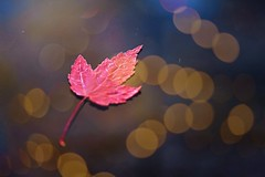 Red maple leaf and bokeh (CCphotoworks) Tags: autumn red contrast leaf bokeh mapleleaf redleaf stockphotography singleleaf redmapleleaf bokehbackground photoconciergecom ccphotoworkscom