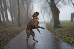 Waiting (Tams Szarka) Tags: dog pet animal fog puppy outdoor boxerdog