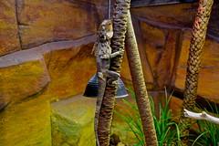 DSC_0286: Melbourne Zoo (aciamax) Tags: cats pelicans penguins rainforest bears butterflies australia melbourne carousel victoria bugs leopard giraffes seals emu monkeys elephants lemurs snakes kangaroos wombat platypus tapir bongos reptiles baboons zebras orangutans binturong koalas meerkats peccaries coatis melbournezoo bigcats greatflightaviary deathadder frilledlizard aciamax africanwilddogs amazonaviary functioncentre gianttortoise picnicpavilions pygmyhippopotamus redpanda blackheadedpython blacklippedcobra browntreesnake elongatetortoise eyelashviper madagascargroundboa pigmymulgamonitor philippinecrocodile rhinocerousiguana sailfrilledwaterdragon startortoise veiledchameleon westernhermannstortoise goirillas brushturkeys lakesidebistro treetopapes tasmaniandevil