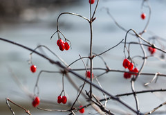 Still Hanging On (Captured Heart) Tags: brightred redberries hangingon winterberries